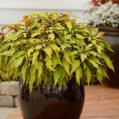 Coleus Marquee 'Blonde Bombshell' chartreuse leaves with rich red veins, full sun, partial shade Garden Spaces, Garden Plants, Potted Plants, Easy Waves, Annual Flowers, Heuchera, Shade Plants, Summer Garden, Growing Plants