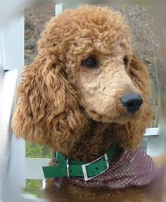 Tanner looks so much like our apricot poodle.