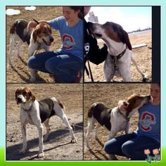 Haven is an adoptable Treeing Walker Coonhound searching for a forever family…