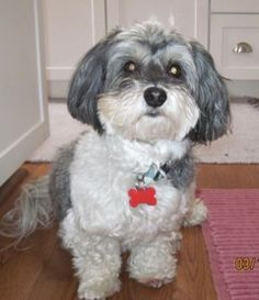 Pictures Of Havanese Dog Haircuts