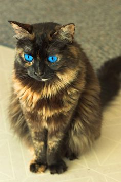 tortoiseshell cat with blue eyes - Google Search