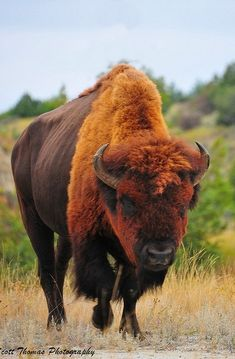 bison, getting in the Montana frame of mind