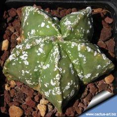 Astrophytum myriostigma cv. HAKUUN nudum