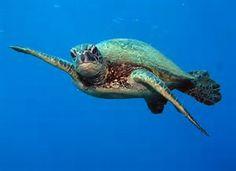 Image result for maui turtles