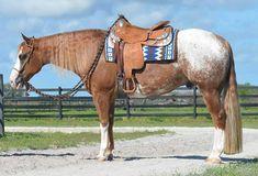 Appaloosa, Horse Tack, Horses, Animals, Animales, Animaux, Animal, Animais, Horse