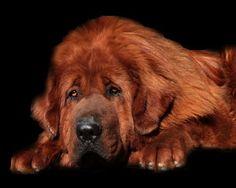 Mastín tibetano, dogo del Tíbet, un perro que llama su atención por su robusta y gran estatura, tiene fama de estar entre los perros más caros del mundo.