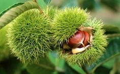Buy Castanea Mollissima Tree Seeds Plant Chestnut For Ginseng Fruit Nut Sweet Chestnut, Chestnut Horse, American Chestnut, Rare Succulents, Forest Garden, Tree Seeds, Beautiful Nature Wallpaper, Beautiful Images, Plantar