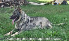 Silver sable German Shepherd Sig