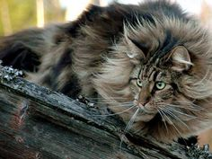A page dedicated for maine coon cat pictures. You will find a gallery with several pictures of these cute maine coon cats. Animal Gato, Mundo Animal, Pretty Cats, Beautiful Cats, Cute Kittens, Cats And Kittens, Ragdoll Kittens, Tabby Cats, Bengal Cats