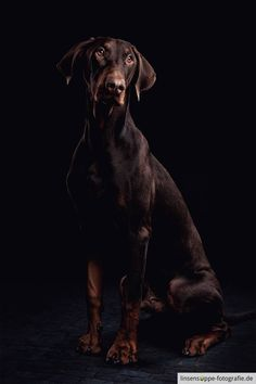 Portrait of a young doberman by linsensuppe -  fotografie on 500px