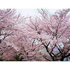 【ri_ku_ri_ku】さんのInstagramをピンしています。 《#tree#pink #cherry #cherrytree #cherryblossom #木#さくら#桜#サクラ#ピンク#伐採  自宅近くの生活道路でもある、くねくね坂道 大木の桜の並木道🌸🌸🌸 毎年、美しい桜のトンネルを作ってくれる 昨日、何本かが、バッサリ 今朝、通ったら少なくとも7,8本 クレーンも出ていて、たぶん今日切り株撤去 古木過ぎて、危険との判断なのか 車の交通の邪魔とのクレームなのか 通り抜けに使う車は、更にスピードを増し、住民は危険に晒される😰  来年は途切れ途切れの桜🌸のトンネルとなりそう😓 桜の木の悲鳴が聞こえてきそうでした😞》