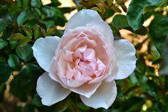 Sweethearts & Sweet Tarts: The Generous Gardner Rose