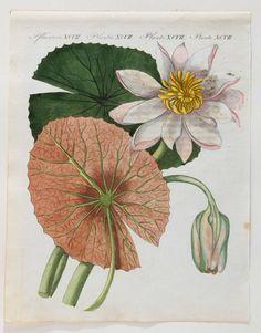 """Water Lily, 1800. Copper engraving. Handkolorierter Kupferstich aus F.J. Bertuch """"Bilderbuch für Kinder""""."""
