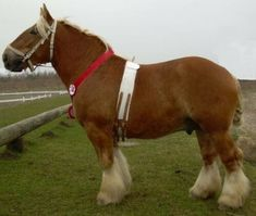 colorful pictures of draught horses | Jutland Horse Breeding Program
