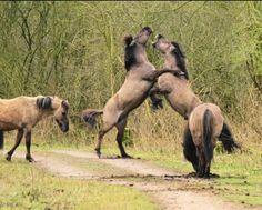 Wilde paarden aan het vechten in Zeewolde.