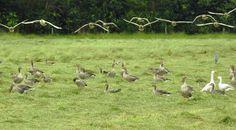 Invallende grauwe ganzen - Vogels (mus, valk, etc) - Grauwe gans