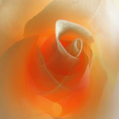 Photograph rose by Arisa Dina on 500px