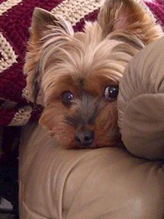How sweet! It is so cute the looks they give you sometimes - ya gotta laugh! #yorkshireterrier