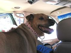 Dog in / inside a car during a hot summer day. Safety tips for dogs in cars .. http://www.dogscircle.com