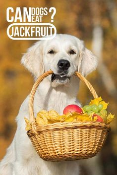 Homemade Dog Food Can dogs eat Jackfruit - A dog food guide. - Can dogs eat jackfruit? Is jackfruit safe for dogs to eat or is it harmful? Can we give jackfruit to dogs as a treat? Let's find out more in this complete guide to dogs and jackfruit. Happy Dog Food, Make Dog Food, Cheap Dog Food, Happy Puppy, Puppy Feeding Schedule, Best Dog Food Brands, Dog Food Container, Frozen Dog, Dog Insurance