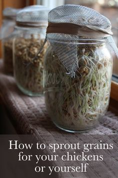 How to sprout grains for your chickens or yourself