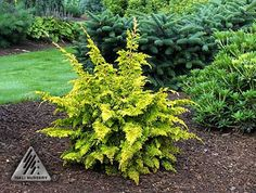 Chamaecyparis obtusa 'Fernspray Gold' Bright yellow foliage with shape reminiscent of a fern frond. This plant is similar in appearance to `Tetragona Aurea', differing in a broader growth habit. Very bright yellow-gold when grown in full sun. | Photo by Iseli Nursery, Inc.'Fernspray Gold' 10' ht. x 5' w. Beautiful in winter w/ evergreen background or against bare limbs of trees.Must have some afternoon shade to protect foliage.Mulch well.