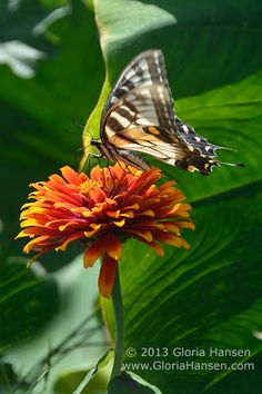 Yellow Swallowtail by Gloria Hansen