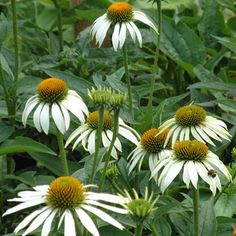 Echinacea purpurea 'Happy Star' - Deep green leafy clumps set off handsome large white daisies; the centre of each a  spiky green cone brightened with orange tips 80cm. Best in sun in a rich soil