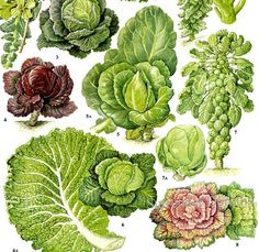 Cabbage Kale Savoy Brussel Sprouts Salad Vegetable Plant Flowers Food Chart Botanical Lithograph Illustration For Your Vintage Kitchen