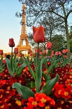 Tulips By The Eiffel Tower