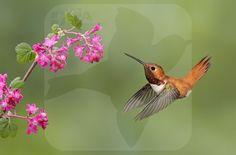Rufous Hummingbird - BIA - birdimagency
