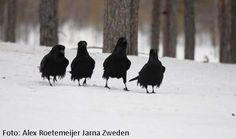 vier raven, Zweden Alex Roetemeijer