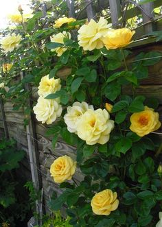 Climbing Rose Arthur Bell - really lovely and with a fabulous scent.  Even though it's yellow!