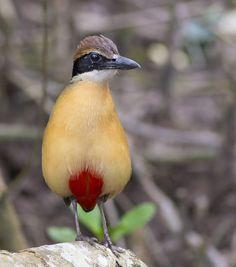 Exotic birds : Mangrove Pitta