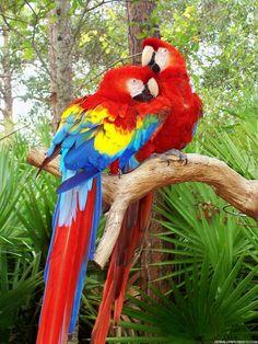 photos of birds | Love Bird Parrot – HD Wallpapers Love Bird Parrot – HD Backgrounds