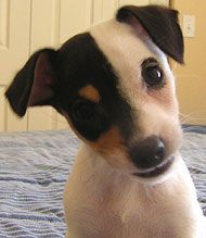 Jack Russells are hands down one of the cutest puppies!  I want another one once I have kids to help get rid of its energy!!