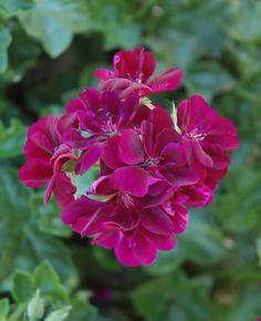 Pelargonium peltatum 'Contessa Burgundy'