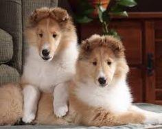 Resultado de imagen para imagenes de perros siberianos rubio