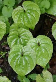Varahi leaf form foliage 3