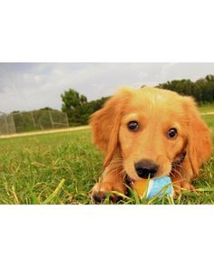 Martha Stewart puppy training tips - potty training, chewing, play biting, good links (place dog treat in a Kong and freeze for an hour. Allow to defrost and then give to dog to help when they are teething) #puppypottytrainingtips