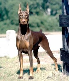 Photos for photo1 SARA KENNEL,,,EXCELLENT DOBERMAN PUPPIES AVILABLE WITH KCI