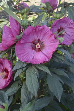20 Best Hardy Hibiscus Images In 2016 Hibiscus Hibiscus Plant