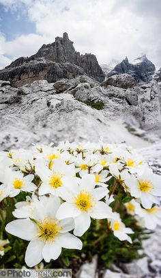 Dryas octopetala (white dryas, or eightpetal mountain avens) flowers prefer limestone formations. The Brenta Dolomites peak of Castelletto Inferiore (2601m) rises above. From the ski resort of Madonna di Campiglio in the Trentino-Alto Adige/Südtirol region of Italy, the Passo Groste lift takes you directly into the Brenta Dolomites to enjoy scenic mountain hiking trails. UNESCO honored the Dolomites as a natural World Heritage Site in 2009. This panorama was stitched from 8 overlapping…