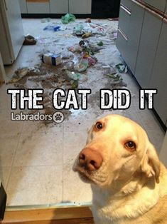 Labs...So looks like Sophie when she's in trouble!
