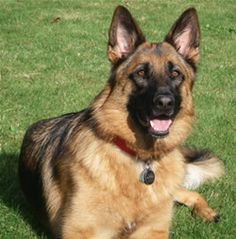 Today, there are German lines of this breed and American lines.