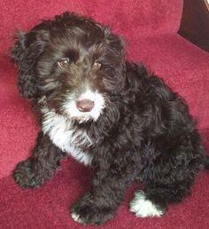 Springerdoodle (English Springer Spaniel-Poodle Mix) Info, Pictures