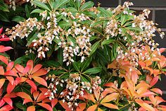 Pieris (lily of the valley shrub) -- smelly but easy care and good for next to fence Japanese Pieris, Pieris Japonica, Lily Of The Valley, Garden Planning, Shrubs, Fence, Backyard, Gardening, Dreams