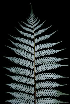Silver Tree fern Cyathea dealbata / Brian Gratwicke / (CC BY Fern Tattoo, Silver Fern, Feather Photography, Forest Tattoos, Tree Fern, Some Beautiful Images, Forearm Sleeve Tattoos, Fern Plant, Flower Photos