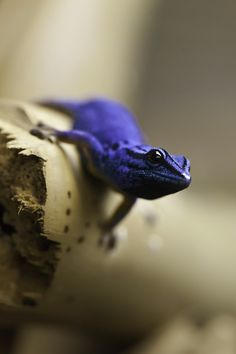 An electric blue day gecko, (Lygodactylus willoamsi) from Tanzania. This species is critically endangered from habitat destruction & over-collection for the pet trade.  However, it is being bred in captivity.  Unlike most geckos which are nocturnal & often cryptic in coloration, day geckos are brightly colored & generally active during the day.  #nature