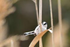 エナガ Long-tailed Tit by myu-myu on Flickr